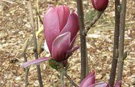 Tulpenmagnolie 'March Till Frost'
