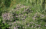 Waagerechte Aster 'Coombe Fishacre'