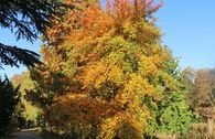 Wald-Tupelobaum
