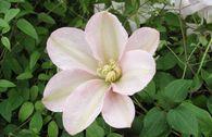 Waldrebe 'Jeanne's Pink'