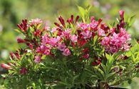 Weigelie 'Picobella Rosa'