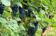 Weintraube 'Solara'