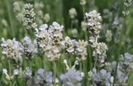 Weißblühender Lavendel 'Arctic Snow'
