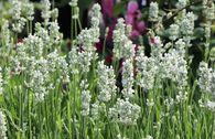 Weißblühender Lavendel 'Nana Alba'