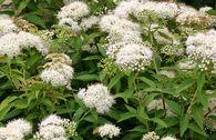 Weiße Zwergspiere 'Albiflora'
