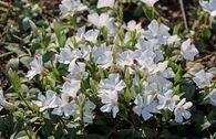 Weißes Immergrün 'Alba' / Vinca 'Alba'