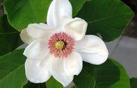 Wiesners Magnolie