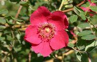 Wildrose 'Moyesii'