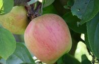 Winterapfel 'Hildesheimer Goldrenette'