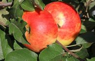 Winterapfel 'Idared'