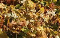 Zierliche Elfenblume 'Niveum'
