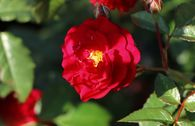 Zwerg-Kletterrose Starlet®-Rose 'Lola' ®