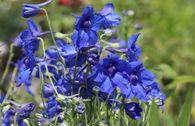 Zwergiger Rittersporn 'Blauer Zwerg'