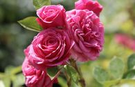 Zwergrose 'Pink Babyflor' ®