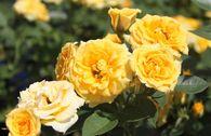 Zwergrose 'Yellow Clementine' ®