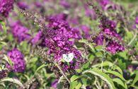 Zwergsommerflieder 'Buzz Pink Purple'