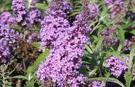 Zwerg-Sommerflieder / Schmetterlingsstrauch 'Buzz ® Violet'