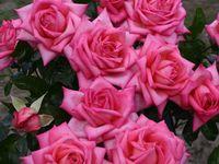 Edelrose Wedding Bells Rosa Wedding Bells Baumschule