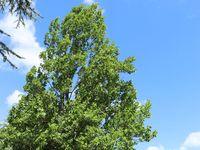 Saulen Tulpenbaum Liriodendron Tulipifera Fastigiatum