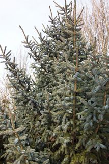 Alcocks Fichte - Picea bicolor