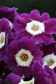 Alpen-Aurikel 'Anderl' - Primula auricula 'Anderl'