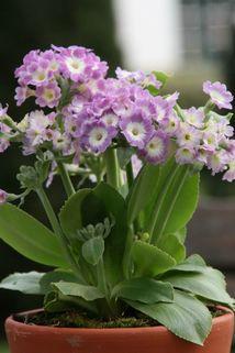 Alpen-Aurikel 'Bartl' - Primula auricula 'Bartl'