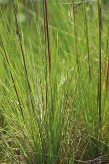 Amethyst-Schwingel - Festuca amethystina