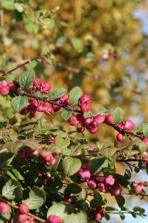 Amethystbeere 'Magic Berry' - Symphoricarpos doorenbosii 'Magic Berry'