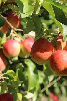 Apfel 'Rewena'  ® - Malus 'Rewena'  ®