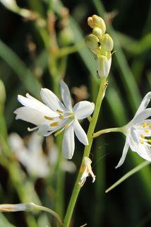 Astlose Graslilie - Anthericum liliago