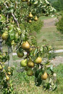 Herbstbirne 'Napoleons Butterbirne' - Pyrus communis 'Napoleons Butterbirne'