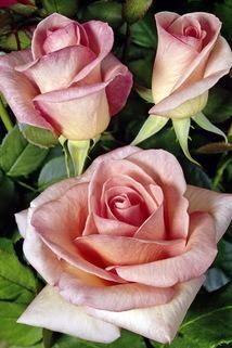 Edelrose 'Summer Lady' ® - Rosa 'Summer Lady' ®