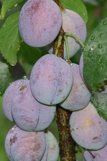 Säulenpflaume 'Imperial' - Prunus domestica 'Imperial'