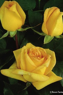 Edelrose 'Golden Tower' ® - Rosa 'Golden Tower' ®