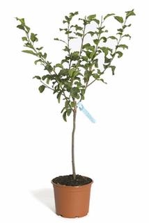 Zwerg-Sauerkirsche 'Piemont' - Prunus avium 'Piemont'