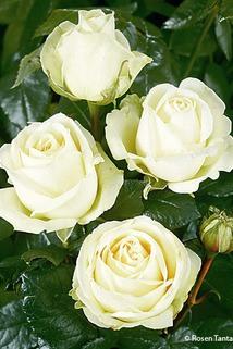 Historische Edelrose 'Mythos' - Rosa 'Mythos'