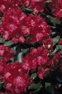 Rhododendron 'Tarantella' (S) - Rhododendron Hybride 'Tarantella' (S)