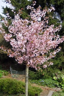 Kurilenkirsche 'Ruby' auf Stamm - Prunus kurilensis 'Ruby' Stamm