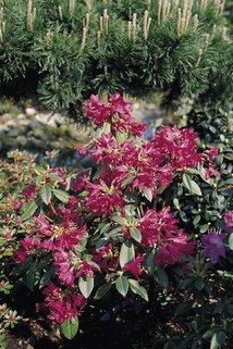 Rhododendron concinnum - Rhododendron concinnum pseudoyanthinum