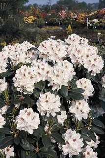 Rhododendron 'Schneebukett' - Rhododendron Hybride 'Schneebukett'