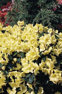 Rhododendron 'Goldika' - Rhododendron Hybride 'Goldika'