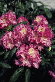 Rhododendron 'Rosita' - Rhododendron yakushimanum 'Rosita'