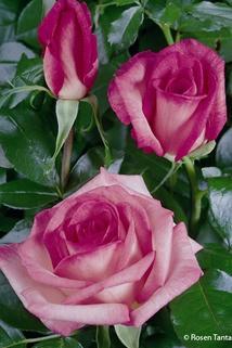 Edelrose 'Wimi' ® - Rosa 'Wimi' ®