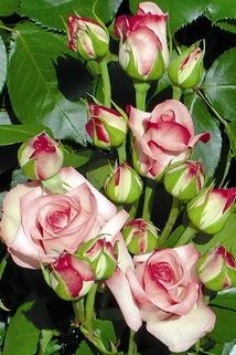 Beetrose 'Marietta' ® - Rosa 'Marietta' ®