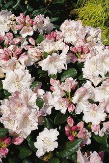 Rhododendron 'Blanka' - Rhododendron Hybride 'Blanka'