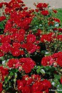 Beetrose 'Ingrid Weibull' ® - Rosa 'Ingrid Weibull' ®