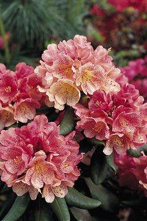 Rhododendron 'Capriccio' - Rhododendron Hybride 'Capriccio'