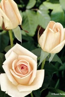 Edelrose 'Osiana' ® - Rosa 'Osiana' ®