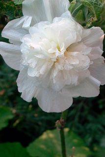 Gefüllte Stockrose schneeweiß - Alcea rosea 'Pleniflora' schneeweiß