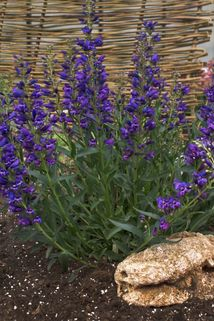Bartfaden 'Riding Hood Delfts Blue' - Penstemon barbatus 'Riding Hood Delfts Blue'
